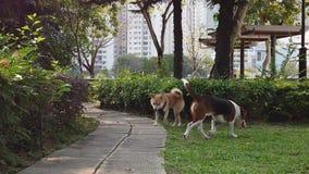 Beagle dog puppy hunting playing Shiba Inu
