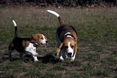 Beagle dog puppy playing. Outside with his mom stock photography