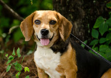 Beagle Dog. Beagle rabbit hunting hound dog, outdoor pet photography, humane society adoption photo, Walton County Animal Shelter, Georgia Stock Photography