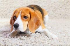 Beagle dog is ready to jump Stock Photo