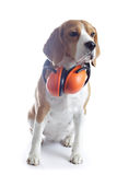 Beagle dog with red headphones isolated on white. Background Royalty Free Stock Image