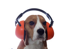 Beagle dog in red industrial headphones isolated on white. Background Royalty Free Stock Images