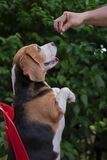 Beagle dog lift up front paws in acting thank you gesture for a dog treats stick in owner hand