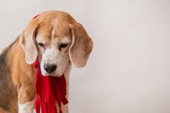 Beagle dog in red scarf portrait on light gray background. Closeup.