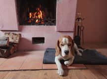 Beagle resting on the floor by the fireplace . royalty free stock images