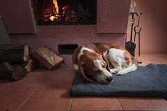Beagle resting on the floor by the fireplace . Beagle dog resting on the floor by the fireplace stock images