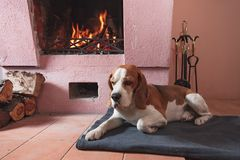 Beagle resting on the floor by the fireplace . stock image