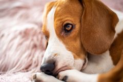 Beagle dog rests on a sofa in living room on fluffy pink cushion. Background stock photo