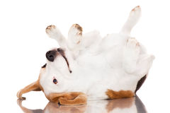Beagle dog rolling upside down Royalty Free Stock Image