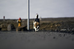 A beagle dog running. A low shot of a beagle dog running in the street Royalty Free Stock Photography