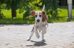 Beagle dog running across the street stock photo
