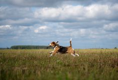 Beagle dog running around and playing with a stick Royalty Free Stock Photos