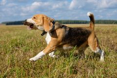 Beagle dog running around and playing with a stick Royalty Free Stock Photography