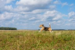 Beagle dog running around and playing with a stick Stock Photos