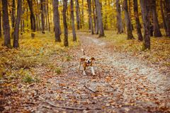 Beagle dog running. In the autumnal forest stock photos