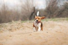 Beagle dog running Stock Image