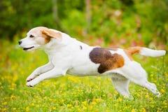 Beagle dog running outdoors Stock Images