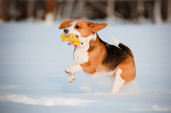 Beagle dog running and playing with a toy in the snow Royalty Free Stock Photos