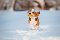 Beagle dog running and playing with a toy in the snow Stock Images