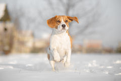 Beagle dog Stock Photos