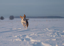 Beagle dog running in the snow Stock Image