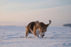 Beagle dog running in the snow Royalty Free Stock Photos