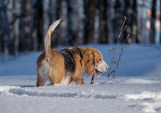 Beagle dog running in the snow Royalty Free Stock Images