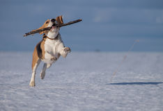 Beagle dog running in the snow Royalty Free Stock Photography