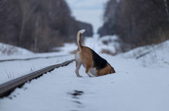 Beagle dog running in the snow Royalty Free Stock Photo