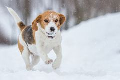 Beagle dog running on snowy day. Beagle dog running on snowy winter day Stock Photos