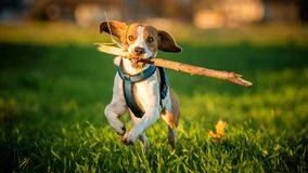 A Beagle dog running with a stick in its mouth in a grass field. In sunset towards camera stock photo