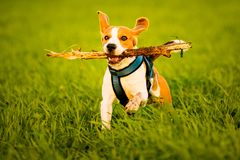 A Beagle dog running with a stick in its mouth in a grass field in sunset. Towards camera stock photography