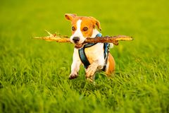 A Beagle dog running with a stick in its mouth in a grass field in sunset. Towards camera royalty free stock photography