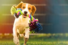 Beagle dog runs in garden towards the camera with colorful toy royalty free stock photo