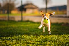 Beagle dog runs in garden towards the camera with green ball. Sunny day dog fetching a toy. Copy space nature canine cute pet animal outdoors happy grass breed royalty free stock photography