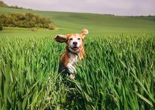 Beagle dog runs in high wet grass Royalty Free Stock Photo