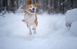Beagle dog runs and plays in a fabulous snow-covered Park stock photography
