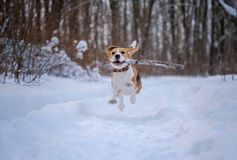 Beagle dog runs and plays in the winter forest Royalty Free Stock Images