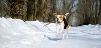 Beagle dog runs and plays in the winter forest on a Sunny frosty day royalty free stock photo