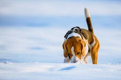 Beagle dog runs and plays on the winter snowy field stock images