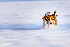 Beagle dog runs and plays on the winter snowy field royalty free stock photos