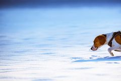 Beagle dog runs and plays on the winter snowy field stock photography