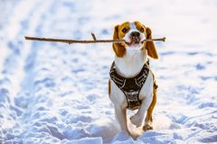 Beagle dog runs with a stick. Towards camera in a winter sunny day royalty free stock photo