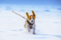 Beagle dog runs with a stick. Towards camera in a winter sunny day stock image