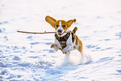 Beagle dog runs with a stick. Towards camera in a winter sunny day royalty free stock photography