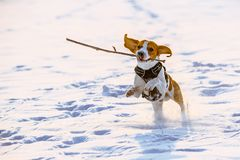 Beagle dog runs with a stick. Towards camera in a winter sunny day royalty free stock image