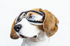 Beagle dog in safety glasses looking away Royalty Free Stock Image