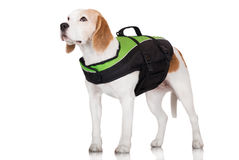 Beagle dog in a safety jacket Stock Photography