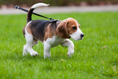 Beagle dog on the scent. Green grass Royalty Free Stock Photos