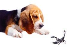 Beagle dog and scorpion isolated on white background.  Royalty Free Stock Photo